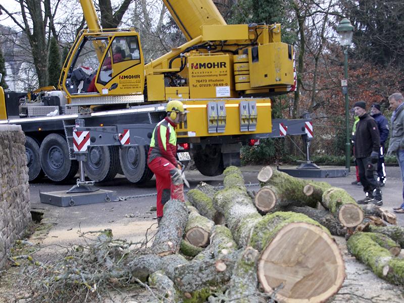 Hasel-Baumfälllung-Notfall
