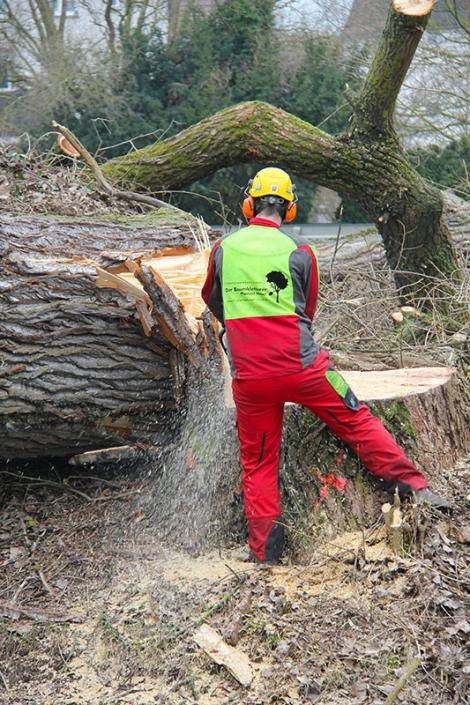 Hasel Baumkletterer Baumstumpfentfernung