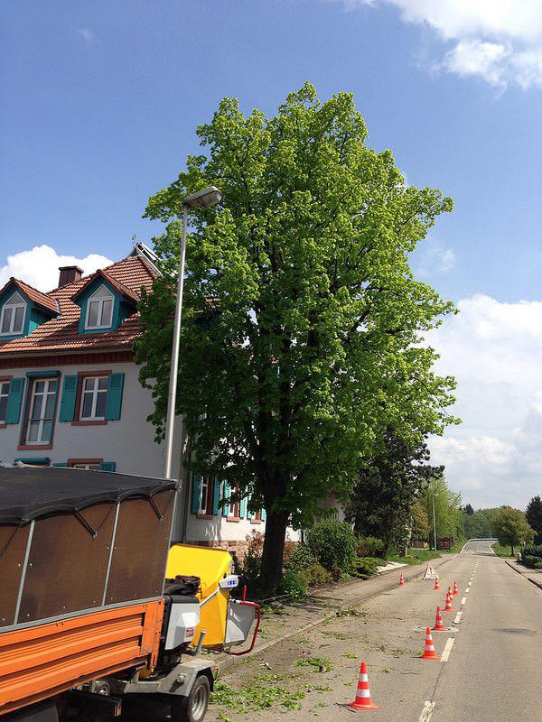 Hasel-Baumkletterer-Buehl-Baden-Baden-Achern-Baumkontrolle
