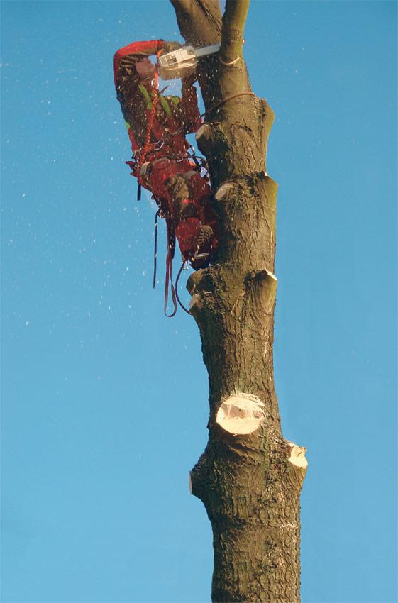 Hasel-Baumkletterer-Buehl-Baden-Baden-Baumstumpfentfernung
